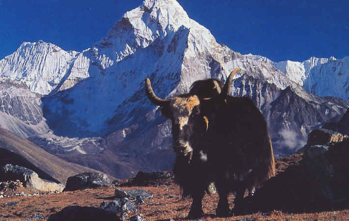 ثور الياك , الثور الجبلي